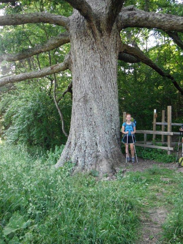Keiffer Oak