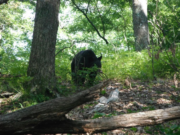A trailside black bear