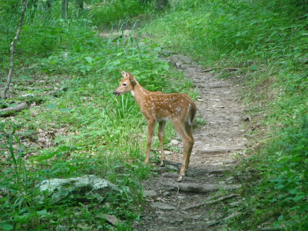 A fawn on the trail