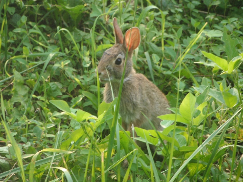 A trailside rabbit