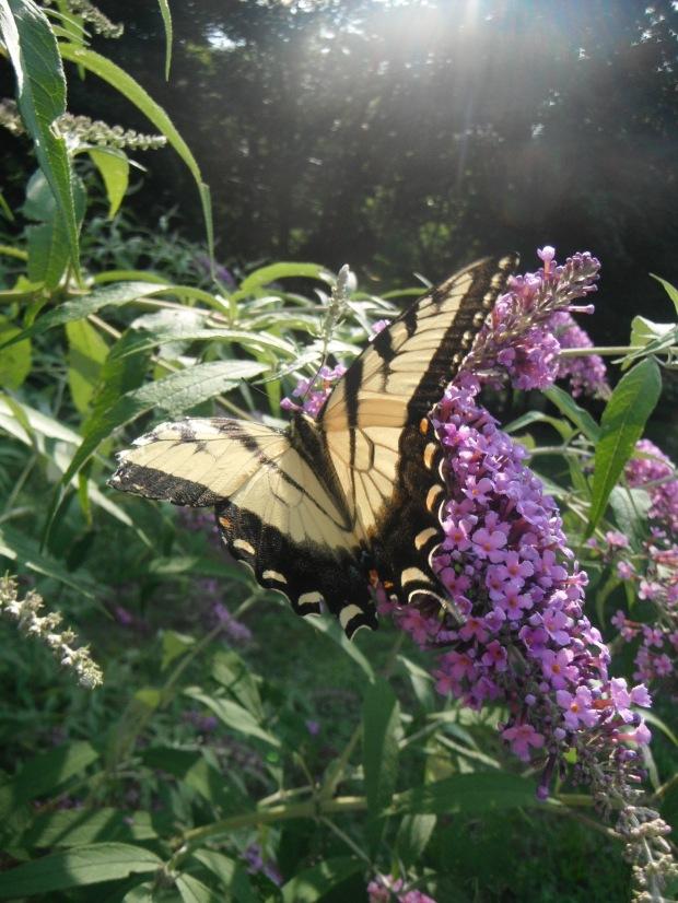 A swallowtail butterfly found trailside
