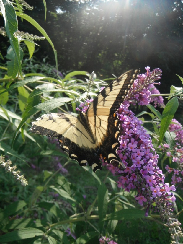 A swallowtail butterfly found trailside