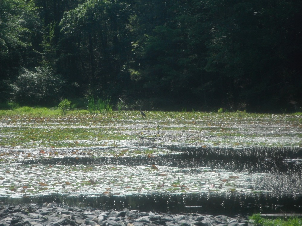 A heron in a marsh, a sign of life north of the superfund site
