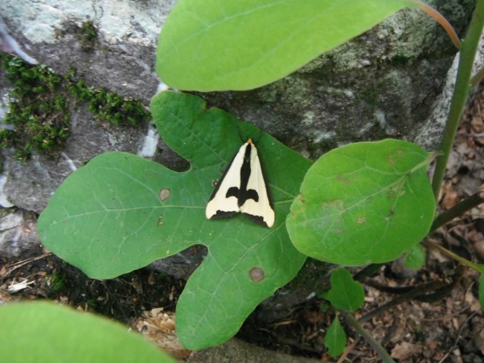 A moth on sassafras