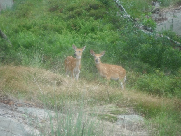 Two fawns at Bear Mountain State Park