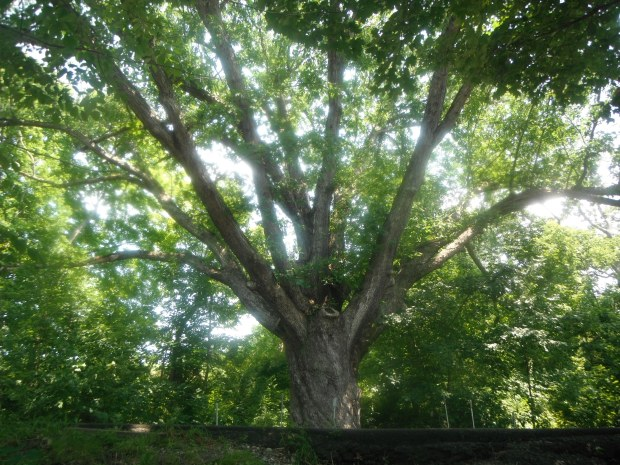The glorious Dover Oak, the largest tree on the trail