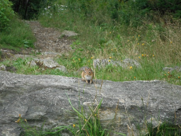 A chipmunk atop Mount Greylock