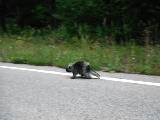 A porcupine at a road crossing