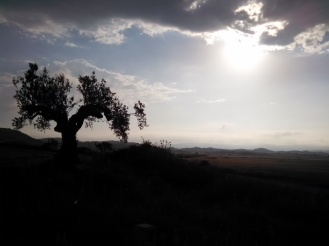 A venerable olive tree